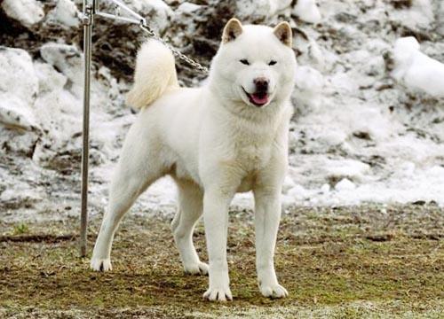 chó Nhật Hokkaido