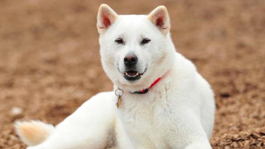chó Nhật Kishu
