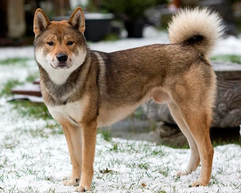 Chó nhật shikoku